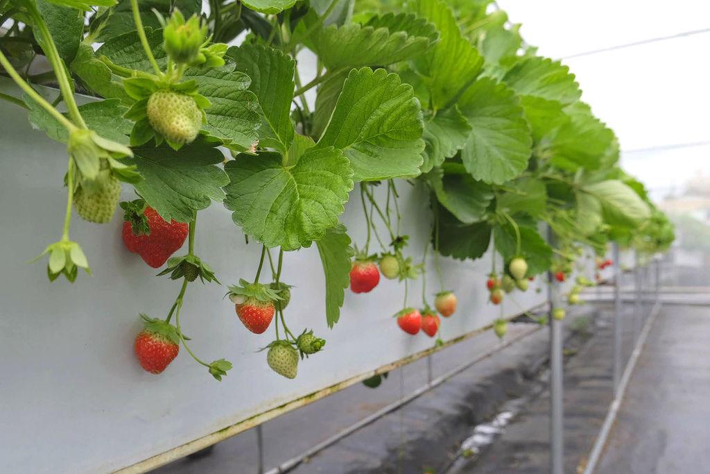 大湖草莓農場古意園1491.jpg