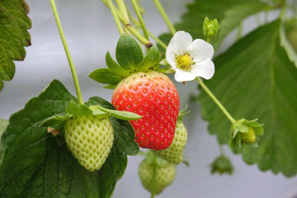 大湖草莓農場古意園1498.jpg