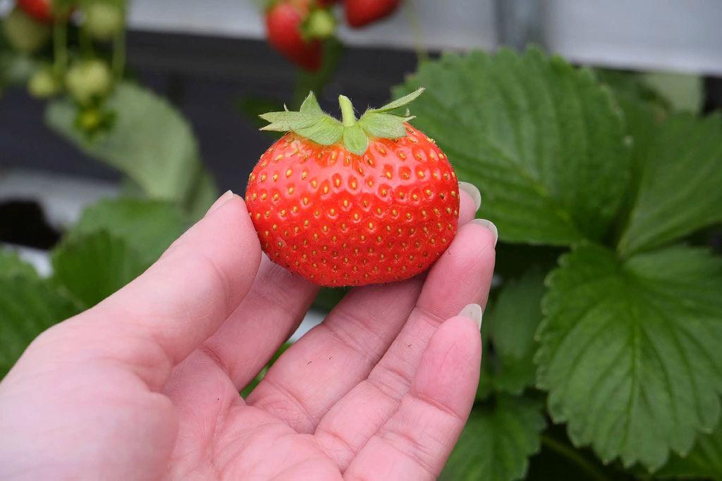 大湖草莓農場古意園1507.jpg