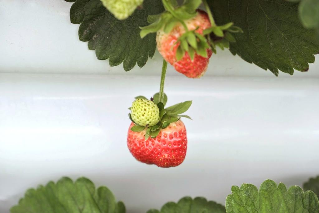 六合高架牛奶草莓_896.jpg