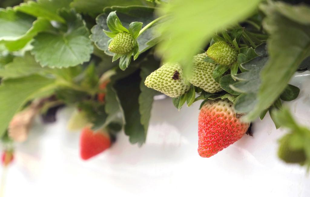 六合高架牛奶草莓_909.jpg