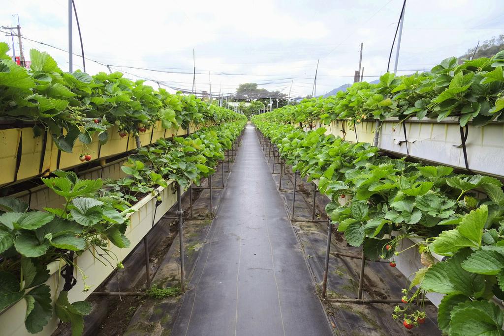 六合高架牛奶草莓_9884.jpg