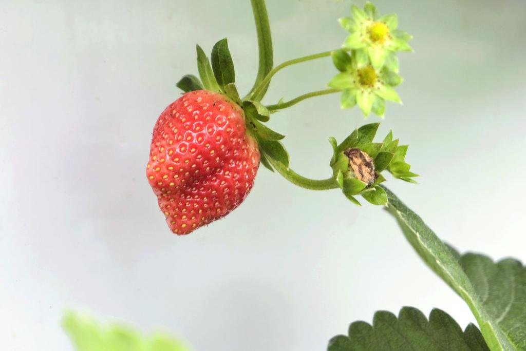 六合高架牛奶草莓_9902.jpg