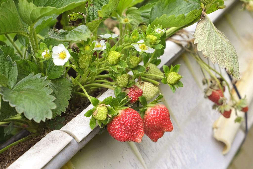 六合高架牛奶草莓_9924.jpg