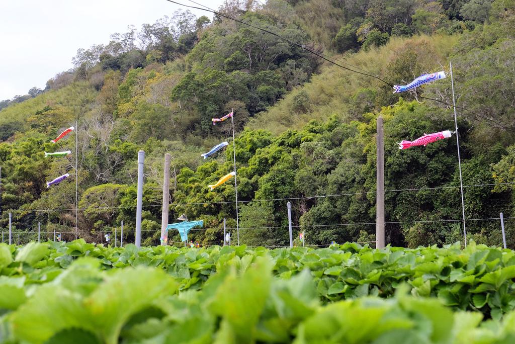 六合高架牛奶草莓_9928.jpg
