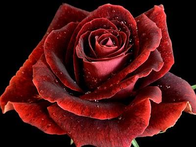 玫瑰.jpg