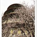 新北市天元宮賞櫻即時花況|亞莎崎的2013年北台灣追花記事簿
