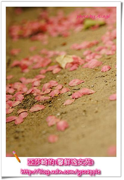 釜山首爾追星旅行-釜山櫻花