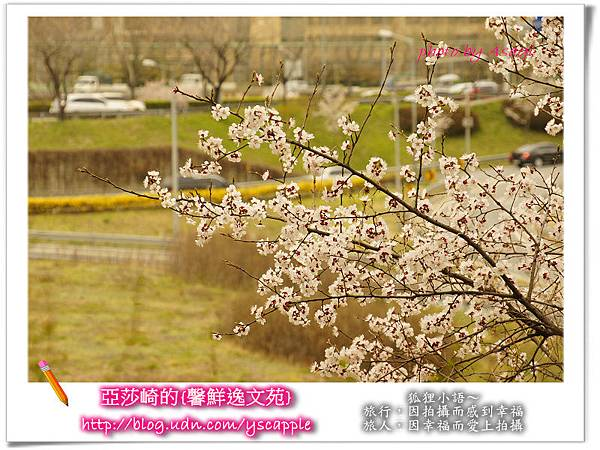 釜山首爾追星旅行-首爾汝夷島櫻花
