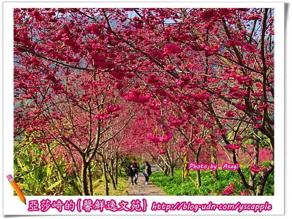 新社沐心泉休閒農場八重櫻、富士櫻花開正盛