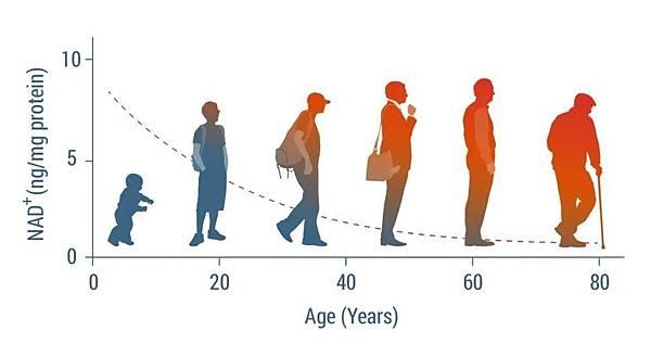 體內NAD+隨年齡增長逐漸下降