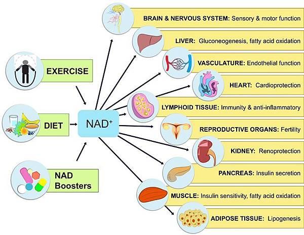 透過NAD+的補給改善健康狀態
