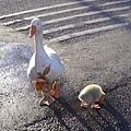 恆春「鵝」寶