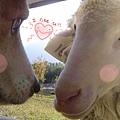 羊熊的戀愛故事