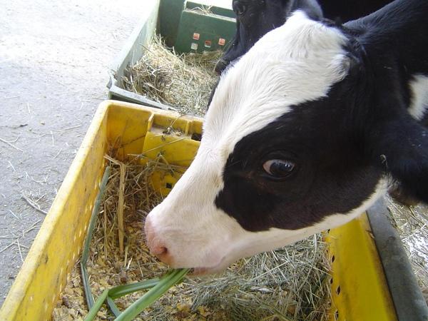 吃草的乳牛.JPG