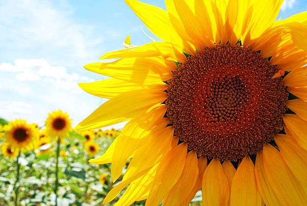 Sunflower_by_Moyrah.jpg