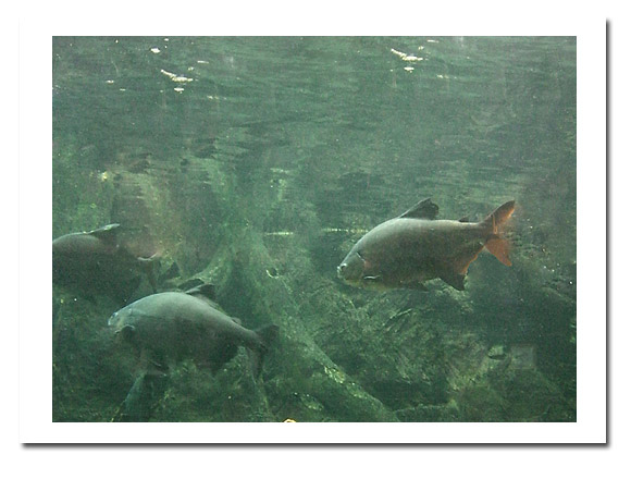 亞馬遜魚2.jpg