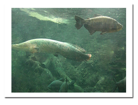亞馬遜魚.jpg