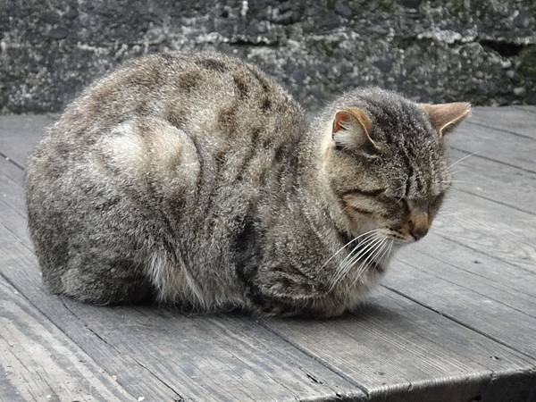 老農夫悠閒的貓.JPG