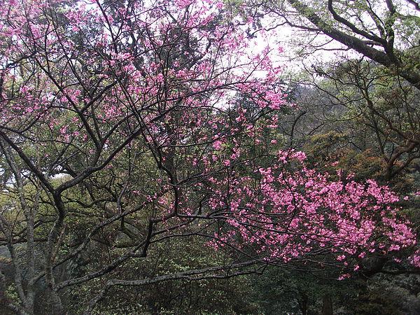 陽明山櫻花3.JPG