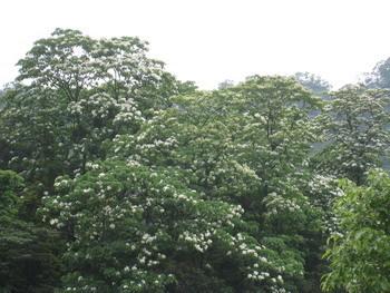 盛開的油桐花