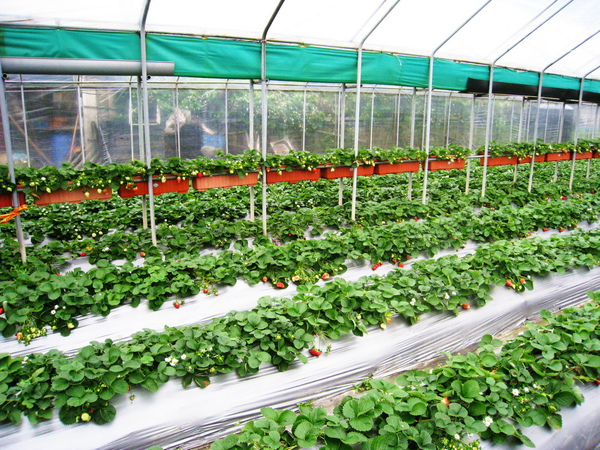 有遮棚的草莓園(不怕下雨喔)