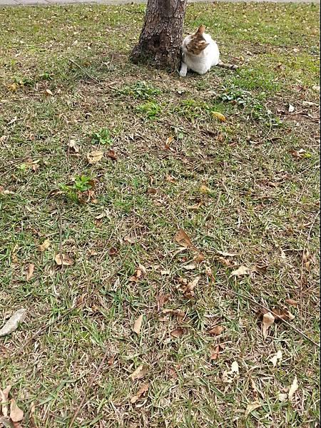 圖片 貓吻樹