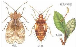 蟲-懸鈴木—方翅網蝽—住在法國梧桐樹上-3