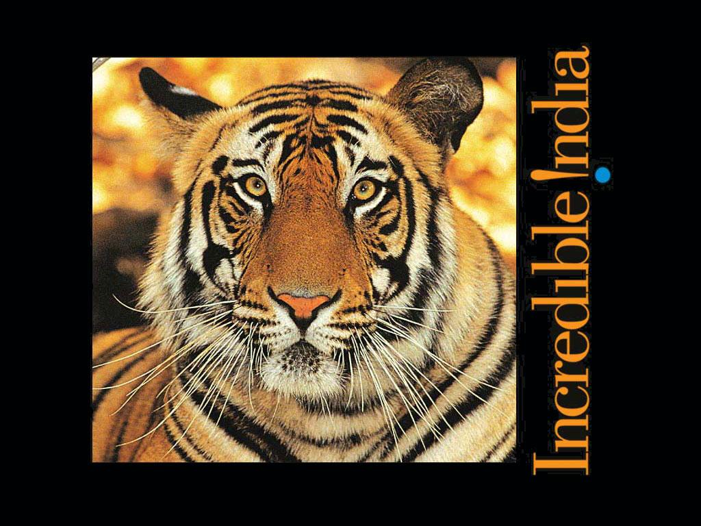 tigerincredibleindia_1024