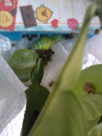 掉下來的蛹