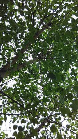 20141018樹葉間-1