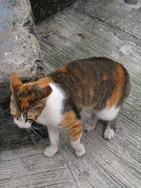 一隻發情的黏人母貓