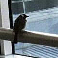 闖進機場裡的鳥