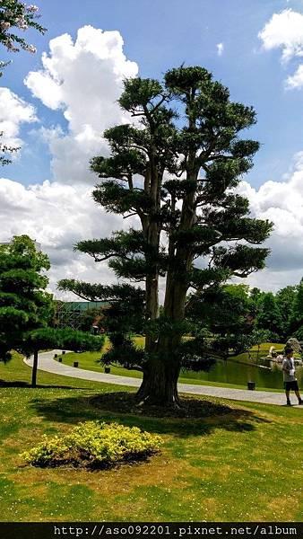 2017010822日式松樹