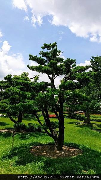 2017010823蘭嶼松樹