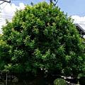 2017010841孔子樹