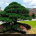 2017010845橡牙木黑壇樹