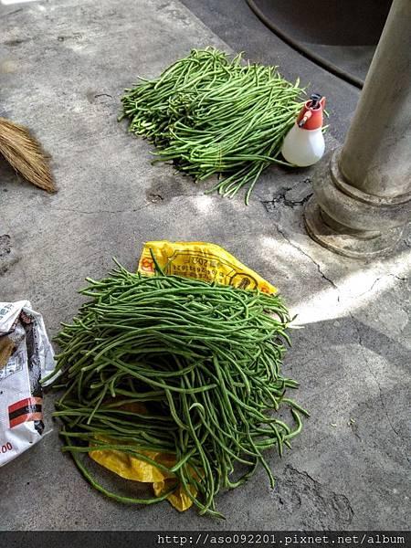2018021611收成的菜豆