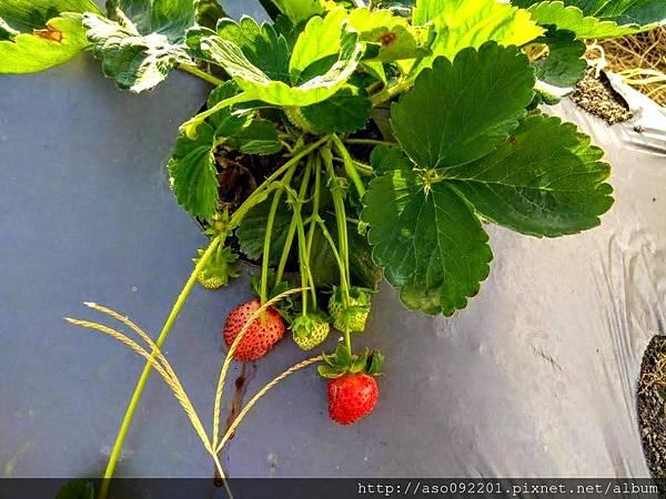 2018121609株下的草莓