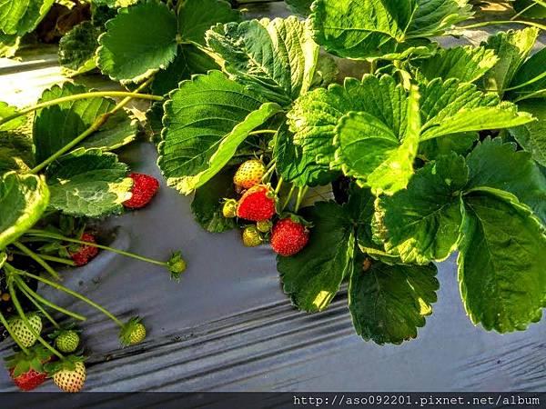 2018121610冷涼處發現漂亮草莓