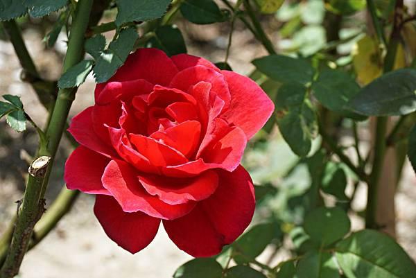 玫瑰山谷 17