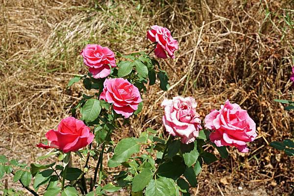 玫瑰山谷 20