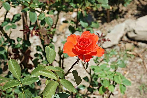 玫瑰山谷 18