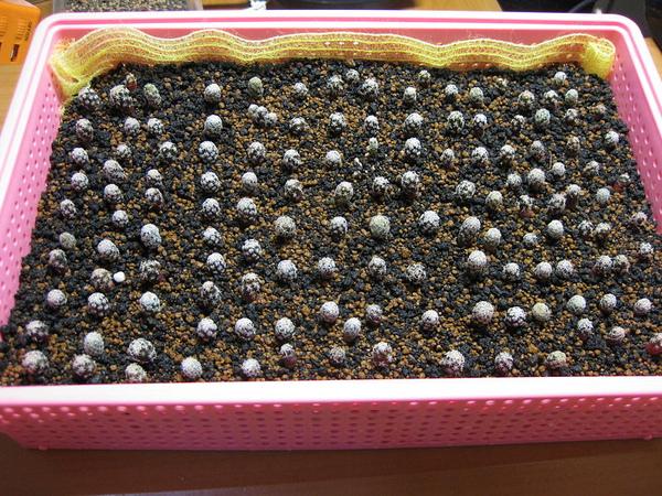T. Seedings