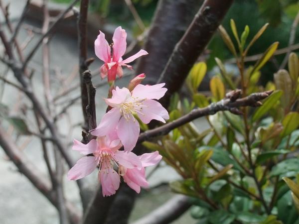 小櫻花開了
