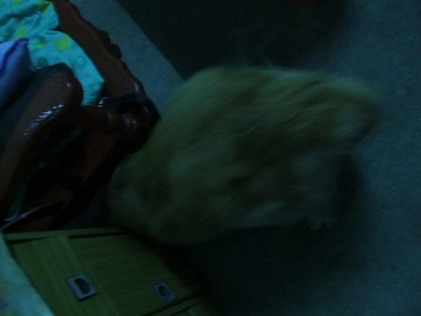 拉奇怕鞭炮聲,頭鑽桌下