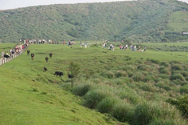 成群奔跑的牛.JPG