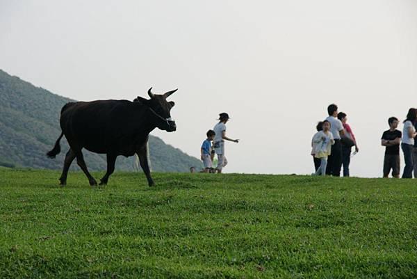 迷路的牛2.JPG