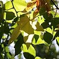 變黃就落下的楓葉