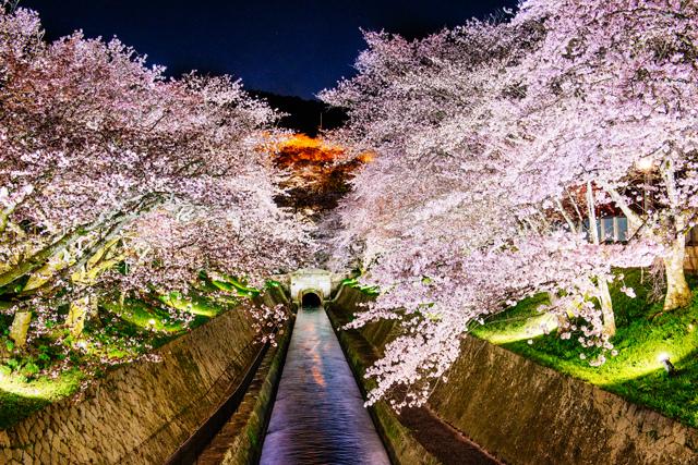 三井寺夜櫻(出自三井寺)